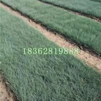 基地直销蓝羊茅 蓝羊茅价格 蓝羊茅小苗 优质地被植物批发