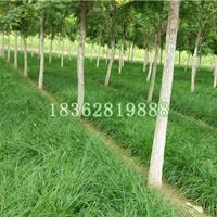 供应崂峪苔草 优质地被植物 崂峪苔草小苗 崂峪苔草价格