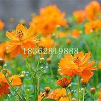 基地直销硫华菊 黄秋英 黄花波斯菊 硫华菊价格 地被植物批发