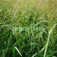 供应柳枝稷 优质柳枝稷价格 地被植物批发
