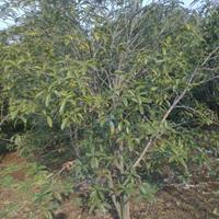 供桂花树,高300,冠200,价廉。质优