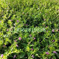 基地直销萼距花工程苗 地被植物紫花满天星小苗 孔雀兰价格