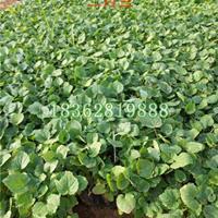供應二月蘭工程苗 地被植物諸葛菜 小蘭花