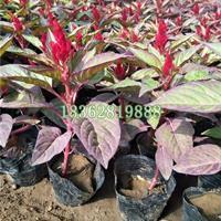 大量供应鸡冠花 鸡冠花小苗价格 地被植物批发