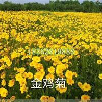 快乐赛车开奖金鸡菊快乐赛车苗 金鸡菊价格 观赏类菊花 地被植物批发