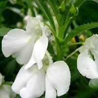 常年批發 鳳仙花  種子