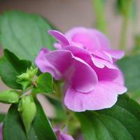 鳳仙花的生長習性 常年供應花草苗木種子草籽