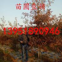 2公分沼生栎 南京基地价格