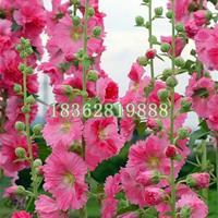快乐赛车开奖蜀葵 优质一丈红 蜀葵价格 蜀葵小苗基地直销地被植物