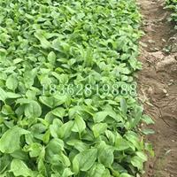 大量供應松果菊 松果菊價格 優質地被植物松果菊批發