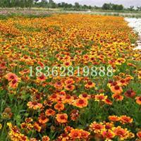 大量供應天人菊 天人菊價格 優質地被植物批發