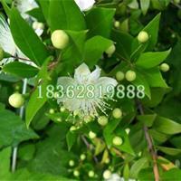 基地直销香桃木 香桃木小苗 香桃木价格 地被植物批发