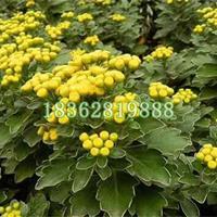 供应优质亚菊 亚菊小苗 亚菊价格 地被植物批发