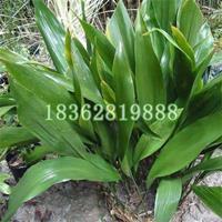 基地直销一叶兰 一叶兰小苗 一叶兰价格 优质地被植物批发