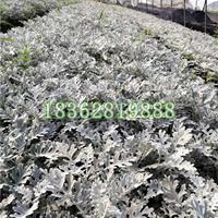 优质银叶菊 银叶菊杯苗 银叶菊价格 地被植物批发