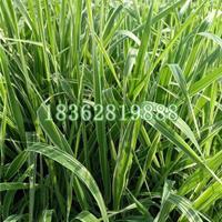 基地直銷玉帶草 絲帶草 玉帶草價格 地被植物批發