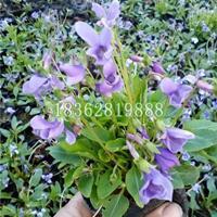 紫花地丁 紫花地丁快乐赛车苗 紫花地丁价格 地被植物批发