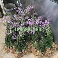 基地直销紫娇花 紫娇花杯苗 紫娇花价格 地被植物