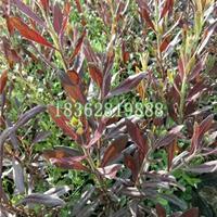 供应优质紫叶千鸟花 地被植 紫叶千鸟花价格 千鸟花工程苗