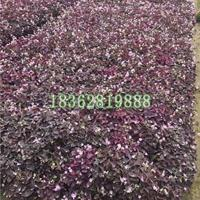 供应紫叶酢浆草  红叶醡浆草  地被草花醡浆草  醡浆草价格