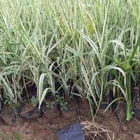 玉带草种植基地报价