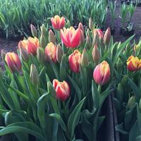 郁金香种植基地价格郁金香