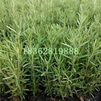 供应迷迭香 迷迭香小苗 迷迭香价格 优质地被植物批发