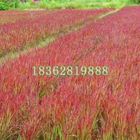 大量供应血草 日本血草价格 日本血草小苗 地被植物批发