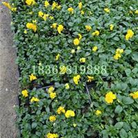 供应三色堇 三色堇小苗 三色堇价格 地被植物批发