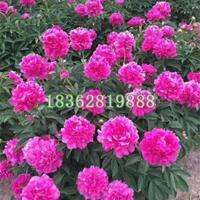 基地直销芍药 芍药价格 宿根花卉 芍药种球 地被植物批发
