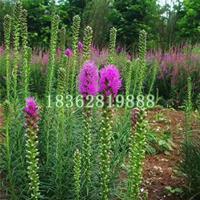 供应蛇鞭菊 蛇鞭菊小苗 蛇鞭菊价格 优质地被植物批发