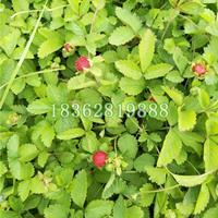 大量供应蛇莓 蛇泡草 蛇莓价格 蛇莓小苗 优质地被植物批发