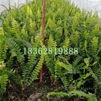 基地直销肾蕨 肾蕨小苗 肾蕨价格 优质地被植物批发