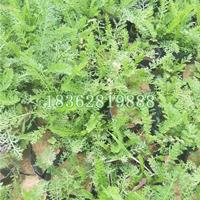大量供应蓍草 蓍草小苗 蓍草价格 优质地被植物批发