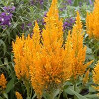 羽状鸡冠花的生长环境  常年供应花草苗木种子草籽