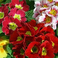 供应 报春花杯苗、报春花种子.各类花卉种子苗木种子草籽