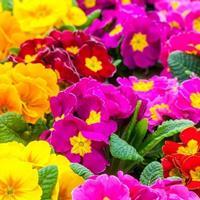 报春花多少温度适合生长 常年供应花草苗木种子草籽