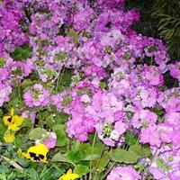报春花怎么繁殖  常年供应花草苗木种子草籽