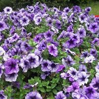 矮牽牛種子 花量大,花期長,四季開花 花壇必備品