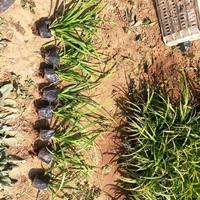 苗圃崂峪苔草快乐赛车开奖商,青绿苔草杯苗低价销售