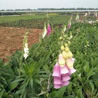宿根毛地黄种植基地,盆栽毛地黄供应