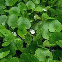 大量快乐赛车开奖水鳖 优质水生植物 水鳖价格 观赏植物批发