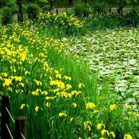批发黄菖蒲种子,别名:水烛,黄鸢尾,水生鸢尾,黄花鸢尾等
