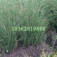 基地直销细叶芒草 地被植物细叶芒 细叶芒价格 水生植物批发