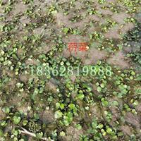 大量供应荇菜 水生植物  荇菜苗 荇菜小苗 水生荇菜