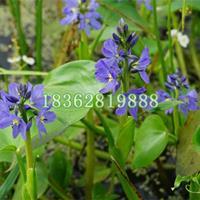 基地直銷雨久花 藍花菜苗水生植物盆栽 雨久花價格 水生雨久花