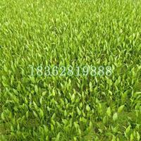 大量供应泽泻 水生植物盆栽 泽泻价格 泽泻苗