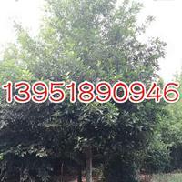 10公分沼生栎价格 如何种植