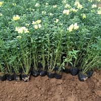 宿根金鱼草大量批发价格,山东青州金鱼草盆栽种苗苗供应厂家