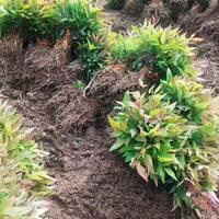 基地批发南天竹籽播苗 彩色红叶色块绿化树苗 南天竺篱观叶植物